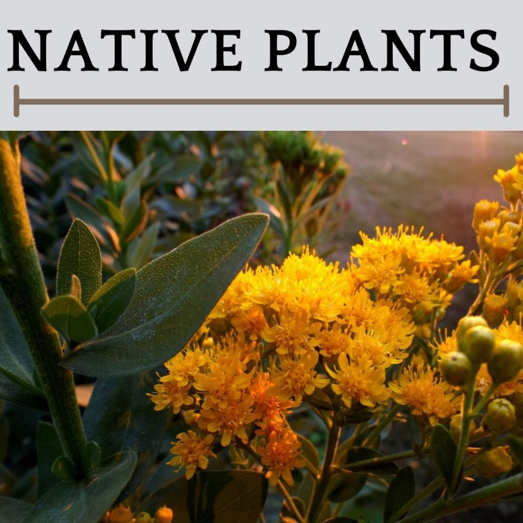 This is an image of native Illinois Plants